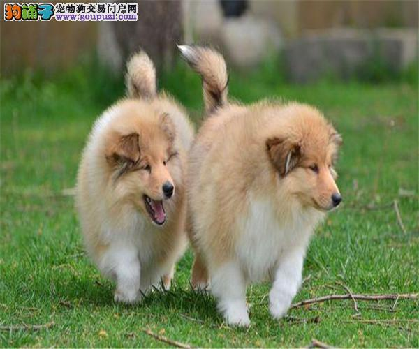 出售自家繁殖的苏格兰牧羊犬