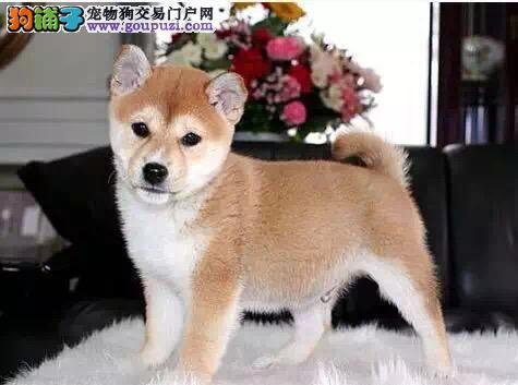 柴犬汉中最大的正规犬舍完美售后市内免费送货