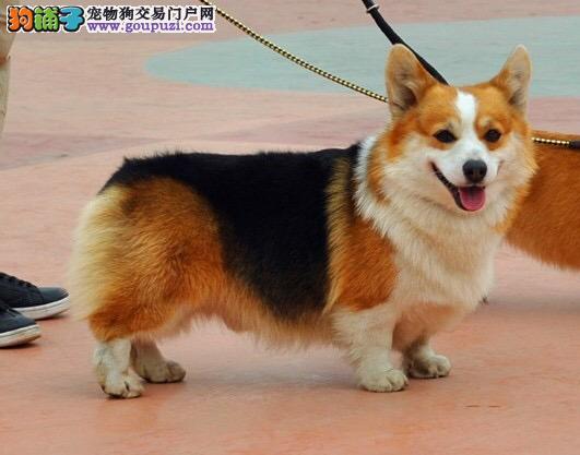 贵州买狗的地方在那里 贵州六盘水那里有专业养殖场