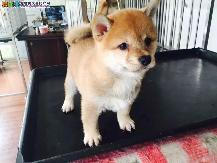 百分百健康纯种柴犬重庆热卖中签订协议终身质保