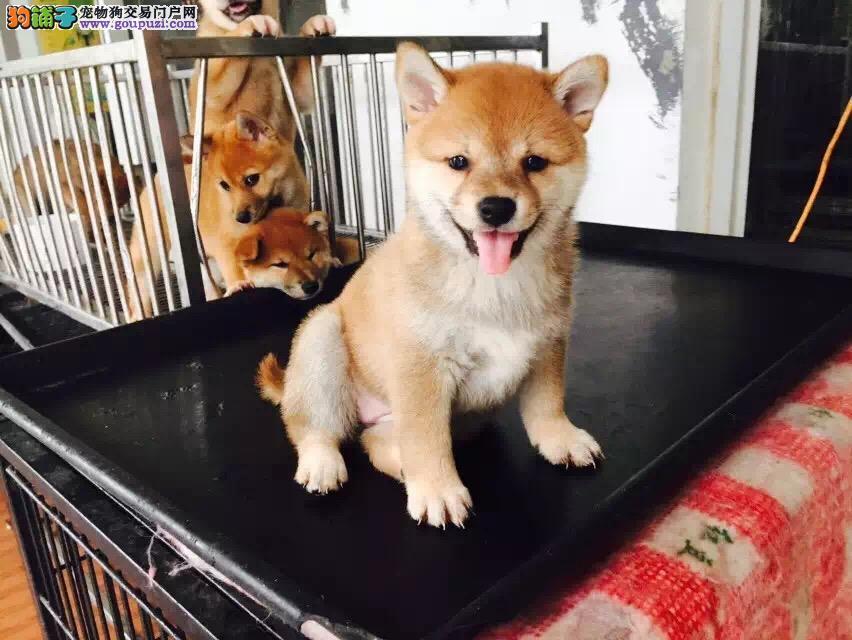 出售纯种柴犬、保证品质一流、三年联保协议