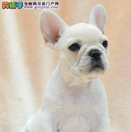 家养多只宜宾法国斗牛犬宝宝出售中CKU认证品质绝对保障