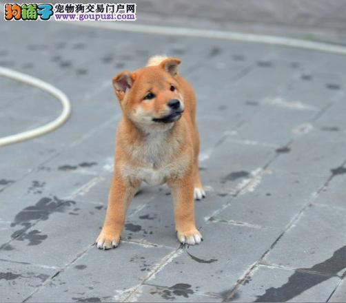 今天付款包邮、柴犬幼犬、纯种日系柴犬、黑赤色大骨骼