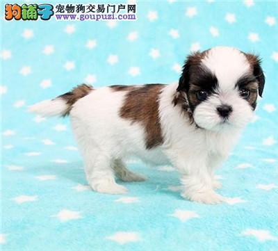 出售西施犬幼犬,全程实拍直接视频,购犬可签协议