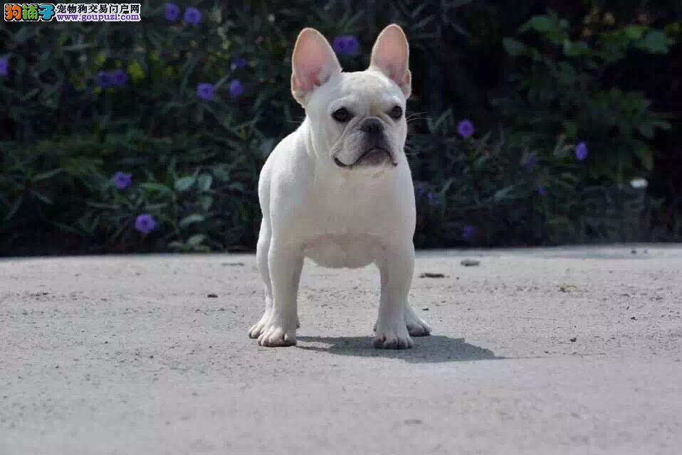 今天付款包邮、法斗幼犬、纯白奶油色、黑白驼、海盗眼