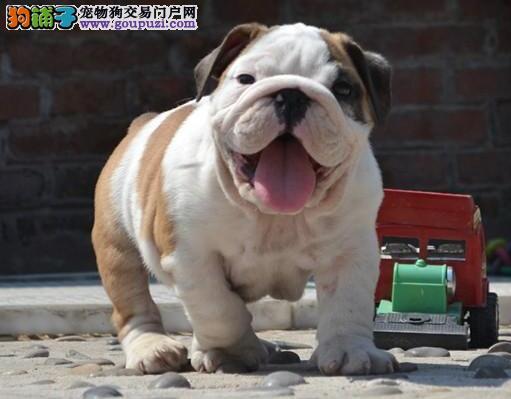 CKU认证犬舍 专业出售极品 英国斗牛犬幼犬价格特优惠哦