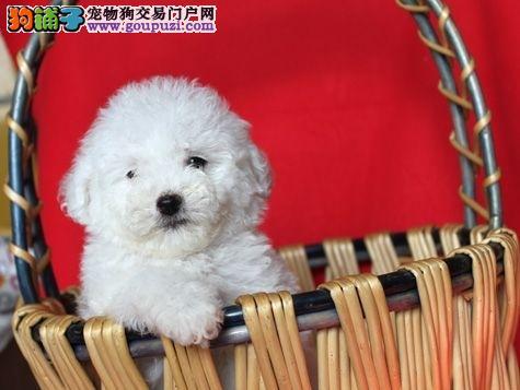 狗场直销一出售纯种比熊幼犬一送用品一签协议一包养活