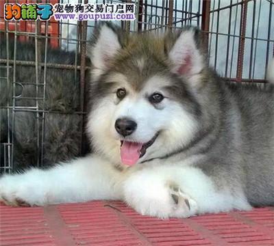 今天付款包邮、阿拉斯加灰桃黑白十字脸熊版阿拉斯加犬