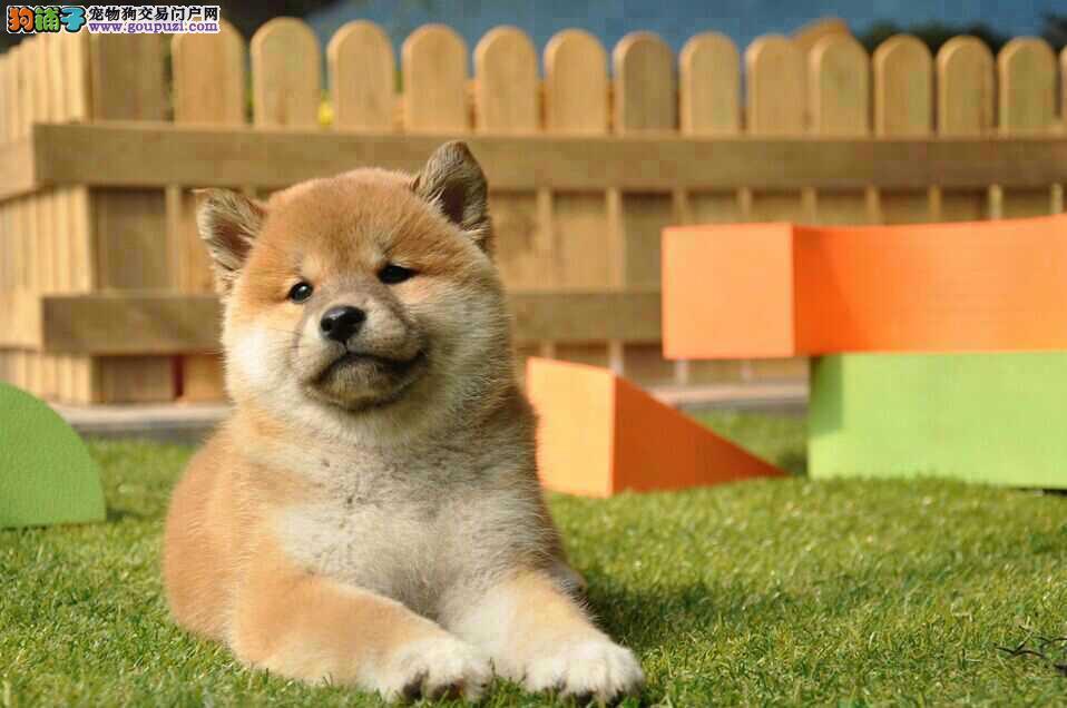 西城知名犬舍出售多只赛级柴犬品质优良诚信为本