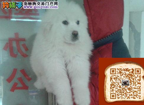 大白熊带血统出售中 终身质保 质量三包 可签协议