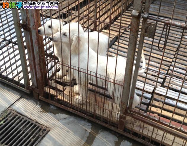高品质阿富汗猎犬幼犬 专业繁殖包质量 签协议可送货