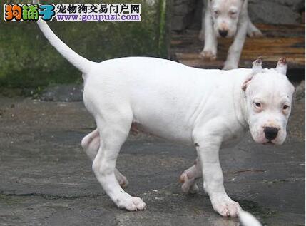 专业正规犬舍热卖优秀重庆杜高犬加微信送用品