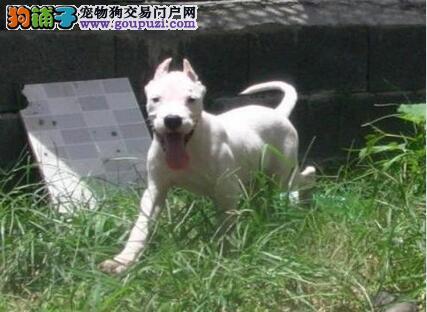 国际注册犬舍 出售极品赛级杜高犬幼犬包养活包退换