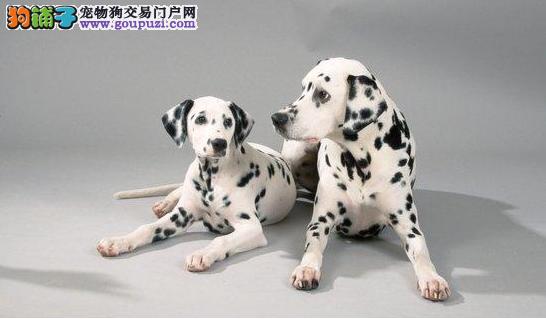 出售幼犬斑点狗包健康纯种可上门挑选