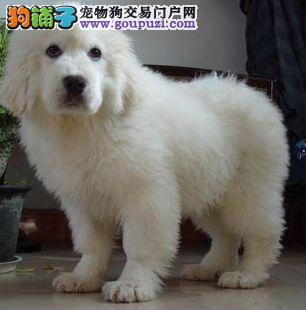 高品质大白熊幼崽出售 CKU认证犬业 品质保证 可签协议