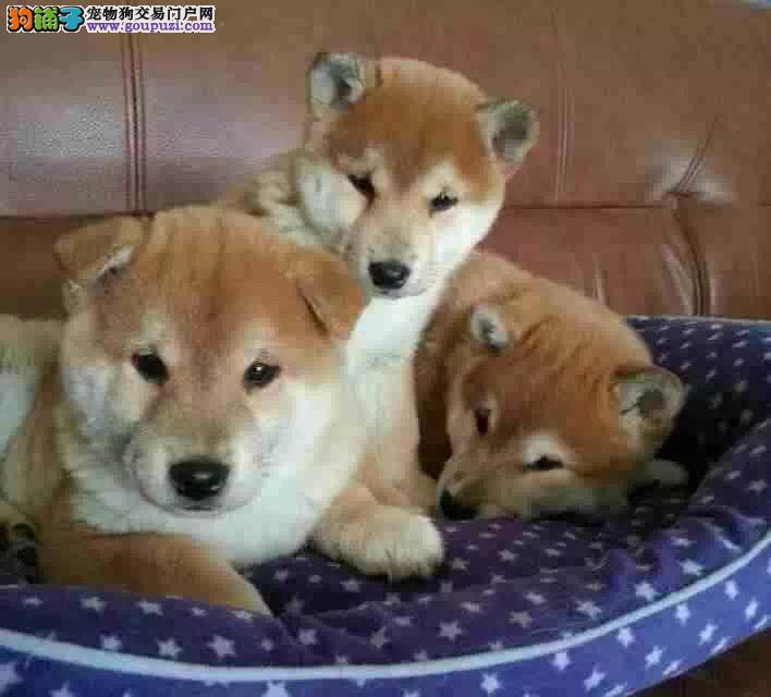 成都哪里有卖纯种的柴犬的 成都正宗柴犬多少钱