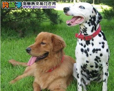 出售颜色齐全身体健康斑点狗提供护养指导