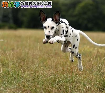 石家庄出售斑点狗颜色齐全公母都有终身质保终身护养指导