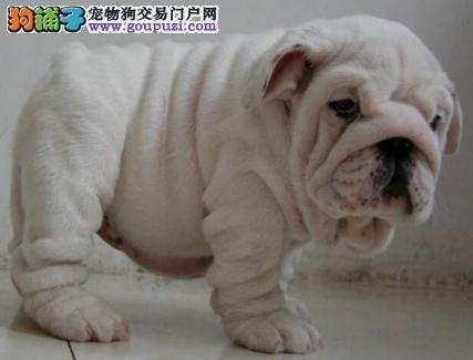 出售可爱纯种广州斗牛犬 可签订活体销售协议售后好