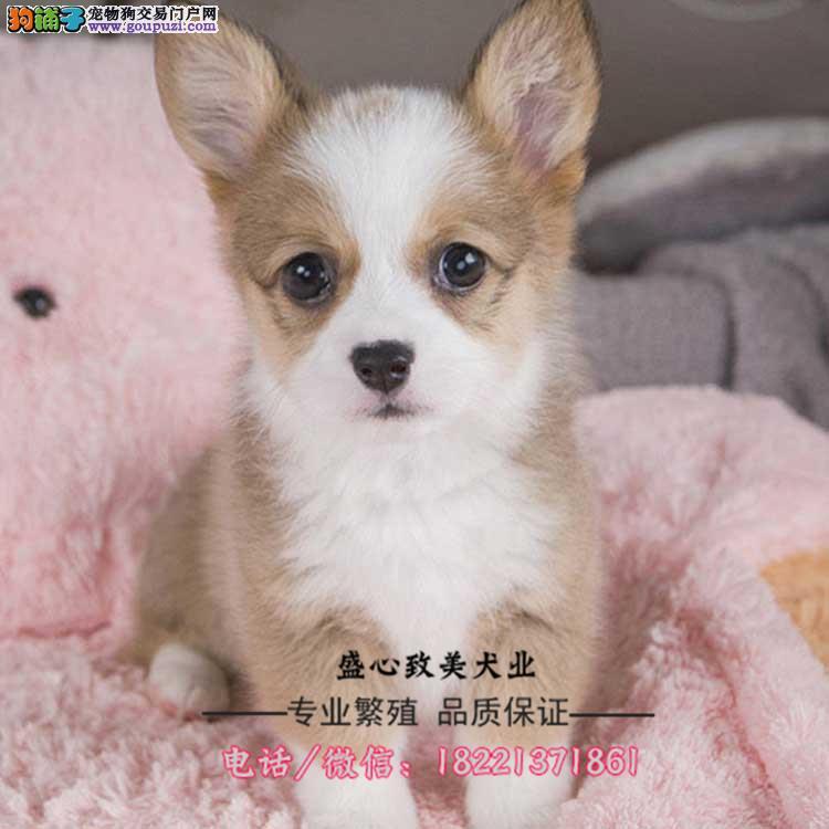 纯种柯基犬 幼犬 两色三色 、今天付款包邮
