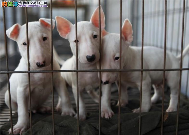 犬舍出售子弹头牛头梗幼犬待售、今天付款包邮