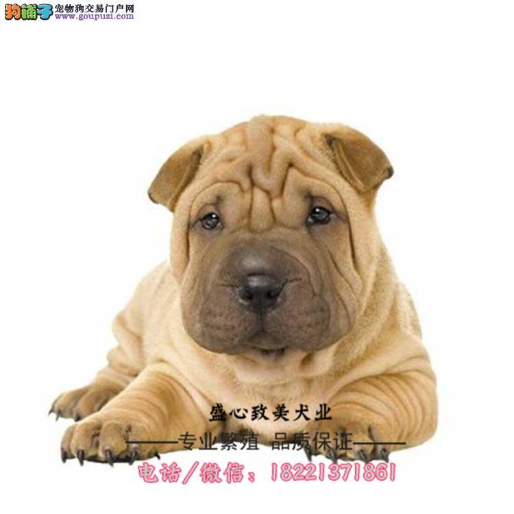 可爱的沙皮幼犬 皱脸沙皮 适应能力强、今天付款包邮