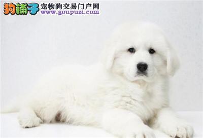 今天付款包邮、大白熊犬 幼犬巨型犬赛级高品质