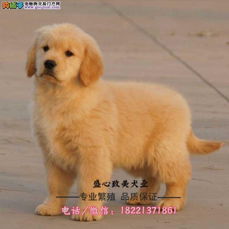 今天付款包邮、金毛幼犬、家庭伴侣犬、导盲犬陪伴老人