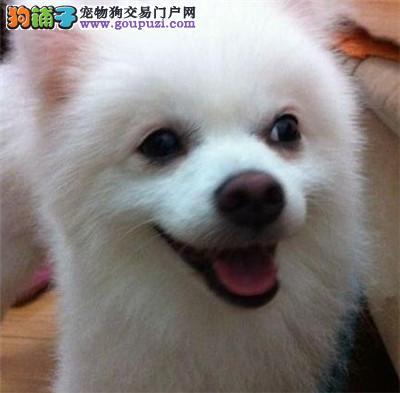 自家繁殖银狐犬 正宗韩国血统、今天付款包邮