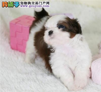 今天付款包邮、西施犬幼犬、超小体西施犬幼犬大眼睛