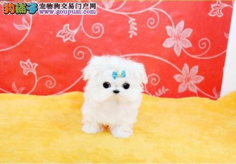 今天付款包邮、马尔济斯幼犬、纯白马尔济斯犬