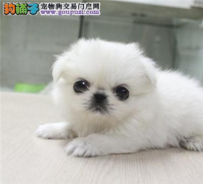 犬舍出售正规狗场,京巴犬、多只可选