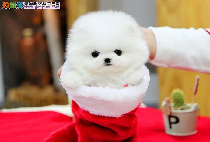 今天付款包邮、博美幼犬、哈多利球形博美、黄白俊介