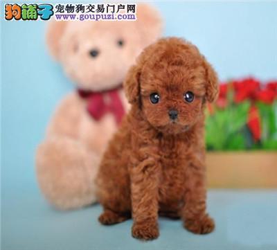 繁殖基地可爱贵宾犬等你来,贵宾宝宝 颜色齐欢迎咨询