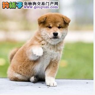 个性机敏、独立,身体强健的幼柴犬、今天付款包邮