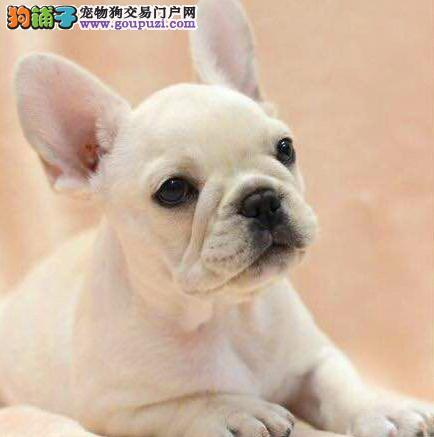 今天付款包邮、法斗幼犬、纯白奶油色、驼色、海盗眼