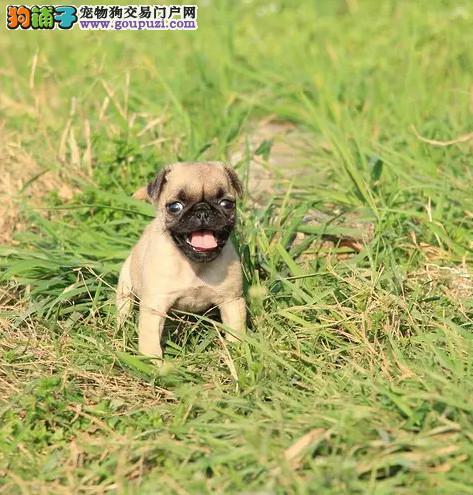 今天付款包邮、巴哥犬幼犬、袖珍体、大眼睛螺丝尾