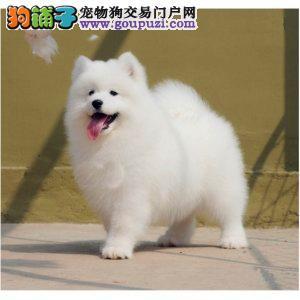 今天付款包邮、萨摩耶幼犬、微笑天使、情侣首选、