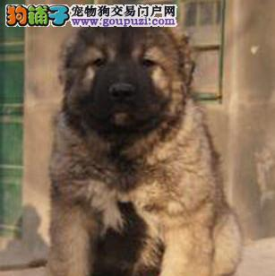 今天付款包邮、高品质俄罗斯巨型,高加索,顶级护卫犬