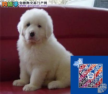 大白熊带血统出售中 终身质保 质量三包 可签协