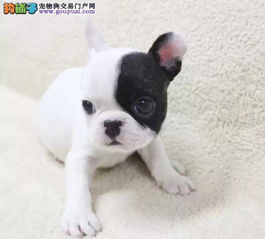 纯种法国斗牛犬幼犬 一宠一证视频挑选 当天付款包邮