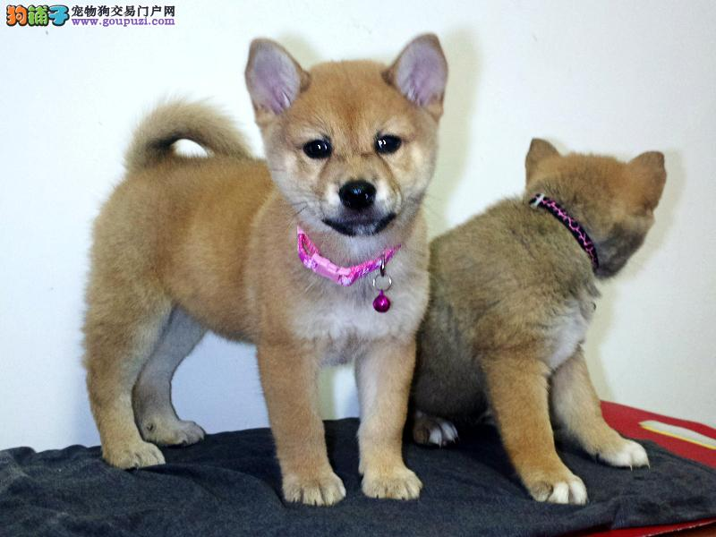 自家繁殖柴犬出售公母都有微信看狗真实照片包纯