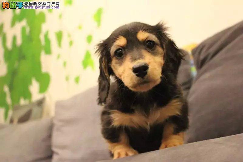 纯种健康的腊肠幼犬各种颜色 欢迎预定