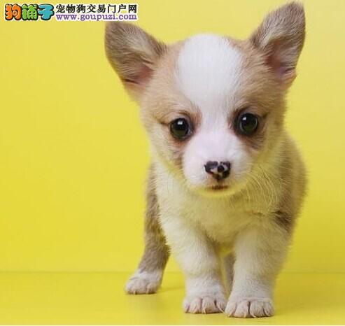 质量缔造优质柯基幼犬精品威尔士柯基犬出售疫苗做齐