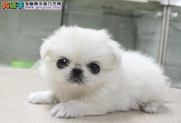 纯种可爱迷你京巴犬 CKU血统 品质保证上门可优惠