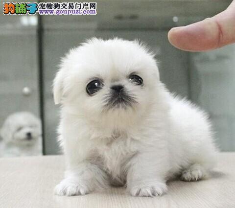 京巴CKU认证犬舍自繁自销签订合法售后协议