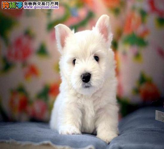 纯种高品质西高地白梗幼犬 活泼可爱 绝对迷你型