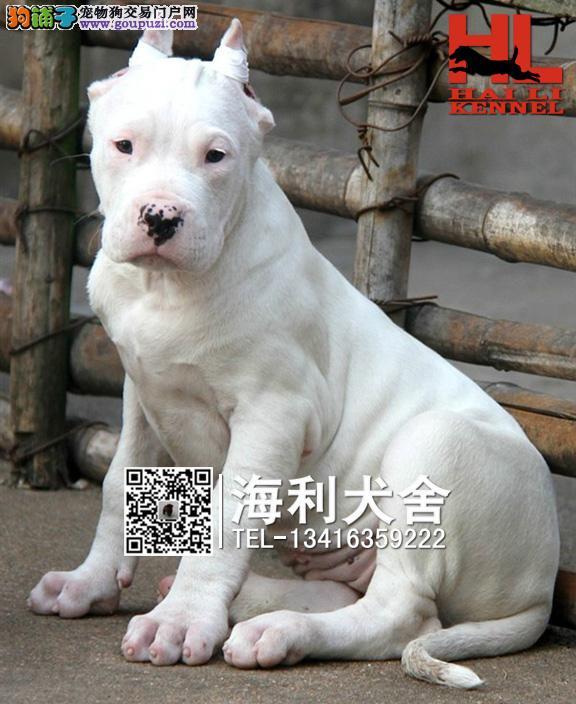 南宁哪里有卖杜高犬 南宁纯种杜高犬多少钱一只