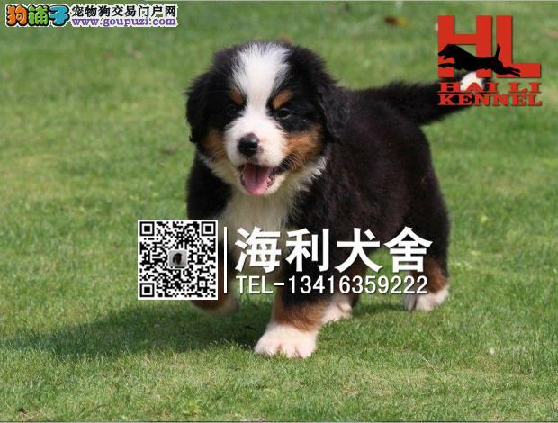 南宁哪里有卖伯恩山犬 南宁纯种伯恩山犬多少钱