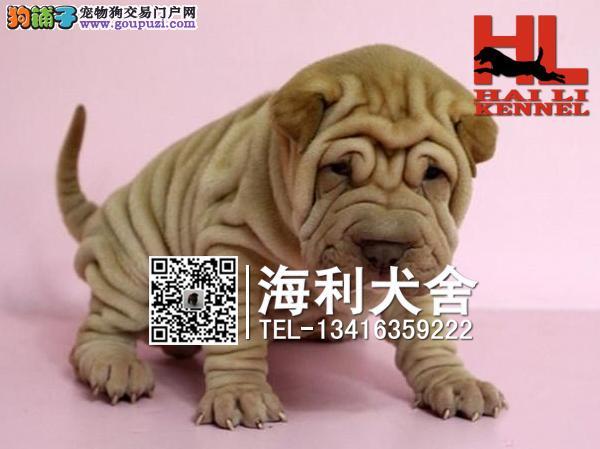 出售高品质沙皮狗幼犬 血统纯正 体型完美 健康纯种